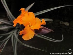 Tillandsia erici fleur (cliquez pour agrandir)