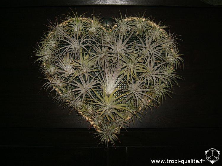 <3 Un coeur en Tillandsia <3