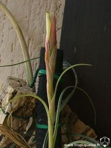 Tillandsia schiedeana x baileyi inflorescence 05/2007 (cliquez pour agrandir)