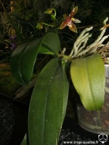 Floraison Phalaenopsis mannii 'Red Leo' (cliquez pour agrandir)