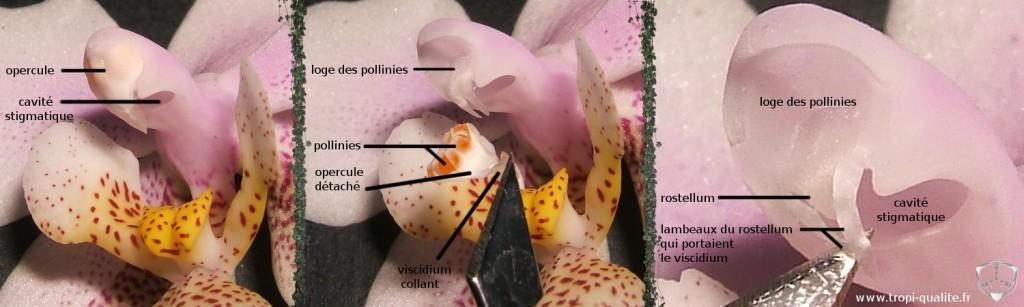 Détails d'une colonne de Phalaenopsis (cliquez pour agrandir)