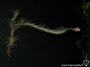Tillandsia araujei Open Form (en haut sur le montage, cliquez pour agrandir)