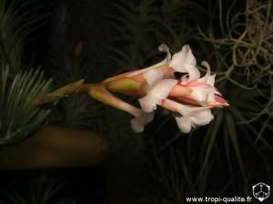 Tillandsia araujei Open Form inflorescence (cliquez pour agrandir)