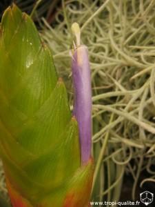 Tillandsia fasciculata spécimen #1 fleur (cliquez pour agrandir)