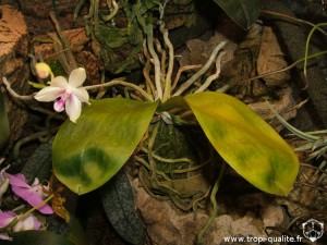 Phalaenopsis fimbriata (cliquez pour agrandir)