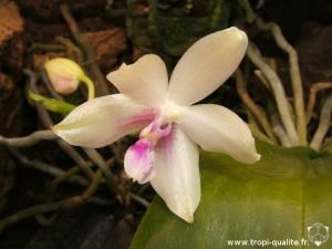 Phalaenopsis fimbriata fleur (cliquez pour agrandir)