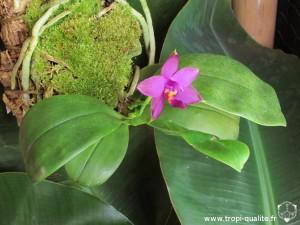 Phalaenopsis violacea var. malaya (cliquez pour agrandir)
