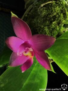 Phalaenopsis violacea var. malaya fleur (cliquez pour agrandir)