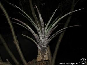 Tillandsia hildae (cliquez pour agrandir)