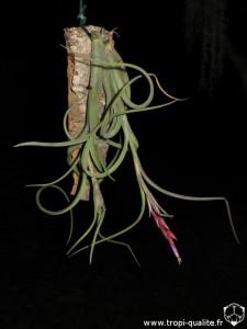 Tillandsia intermedia spécimen #2 (cliquez pour agrandir)