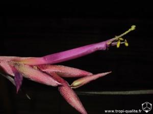 Tillandsia intermedia spécimen #2 fleur (cliquez pour agrandir)