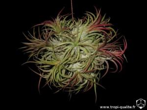 Tillandsia ionantha 'Fuego' spécimen #2 2013 (cliquez pour agrandir)