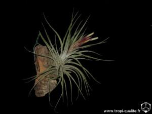 Floraison Tillandsia x rectifolia (cliquez pour agrandir)