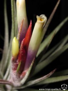 Floraison Tillandsia x rectifolia fleur (cliquez pour agrandir)