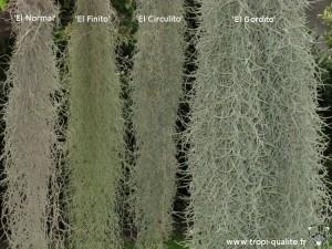 Tillandsia usneoides cultivars (cliquez pour agrandir)