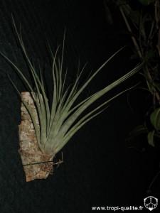 Tillandsia utriculata (cliquez pour agrandir)