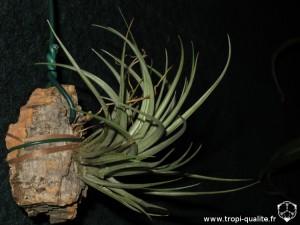 Tillandsia vernicosa (cliquez pour agrandir)