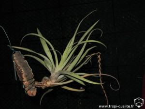 Tillandsia triglochinoides (cliquez pour agrandir)