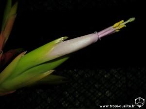 Tillandsia xerographica spécimen #1 fleur (cliquez pour agrandir)