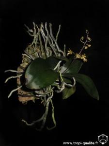 Floraison Phalaenopsis chibae 02/2014 (cliquez pour agrandir)