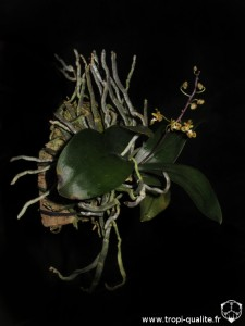 Phalaenopsis chibae (cliquez pour agrandir)