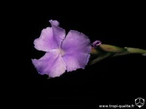 Tillandsia arhiza fleur (cliquez pour agrandir)