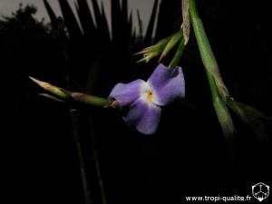 Tillandsia duratii var. saxatilis fleur (cliquez pour agrandir)