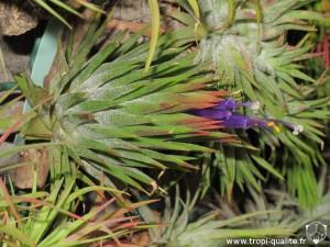 Floraison Tillandsia ionantha var. ionantha spécimen #2 (forme inconnue, cliquez pour agrandir)