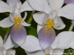 Phalaenopsis equestris 'Wanchio Blue' labelle (cliquez pour agrandir)