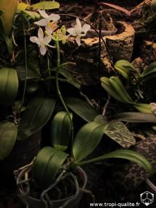 Floraison Phalaenopsis equestris 'Wanchio Blue' (cliquez pour agrandir)