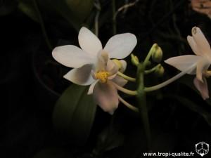 Floraison Phalaenopsis equestris 'Wanchio Blue' fleur (cliquez pour agrandir)