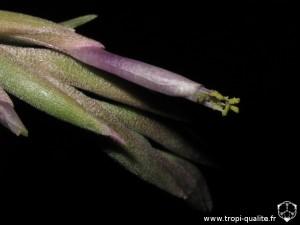 Tillandsia ariza-juliae fleur (cliquez pour agrandir)