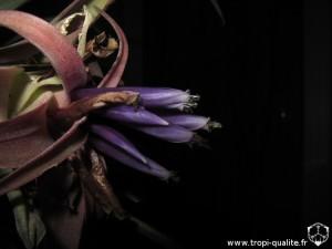Floraison Tillandsia capitata 'Salmon' fleur (cliquez pour agrandir)
