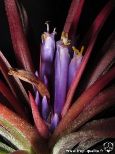 Floraison Tillandsia 'Victoria' fleur (cliquez pour agrandir)