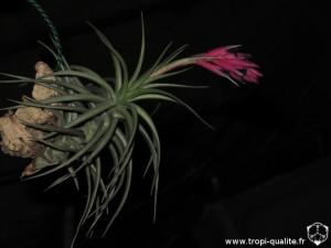 Floraison Tillandsia aeranthos dark form (cliquez pour agrandir)