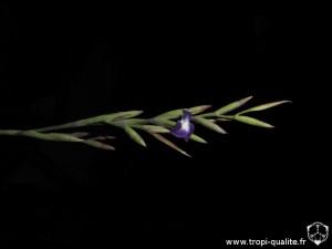 Floraison Tillandsia hybride inflorescence, probablement entre T. straminea et T. arhiza (cliquez pour agrandir)