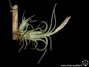 Tillandsia intermedia spécimen #1 (cliquez pour agrandir)