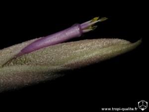 Tillandsia intermedia spécimen #1 fleur (cliquez pour agrandir)