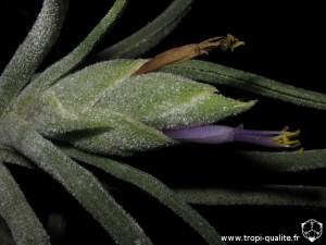 Floraison Tillandsia pruinosa forme Colombienne inflorescence (cliquez pour agrandir)