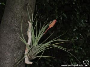 Vriesea barclayana (cliquez pour agrandir)