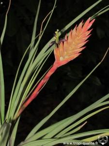 Vriesea barclayana inflorescence (cliquez pour agrandir)