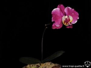 Floraison Dtps Chain Xen Pearl 2014 (Jw88 ou 'Yoshimi', cliquez pour agrandir)