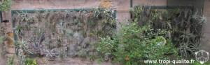 Un de mes 2 murs extérieurs pour mes Tillandsia (cliquez pour agrandir)