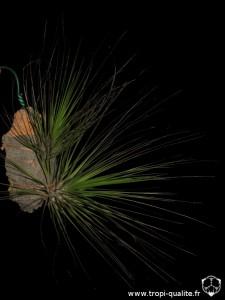 Tillandsia festucoides (cliquez pour agrandir)