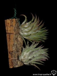 Tillandsia ionantha var. ionantha spécimen #3 (cliquez pour agrandir)