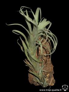 Tillandsia nana (cliquez pour agrandir)