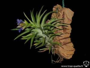 Tillandsia neglecta spécimen #2 (cliquez pour agrandir)