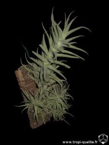 Tillandsia purpurea spécimen #2 (cliquez pour agrandir)