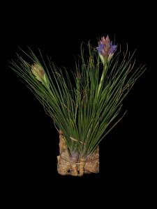 Tillandsia seideliana (cliquez pour agrandir)
