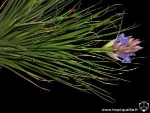 Tillandsia seideliana inflorescence (cliquez pour agrandir)